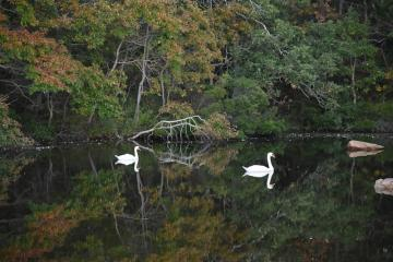 swans on Sengekontacket Pond, Martha's Vineyard