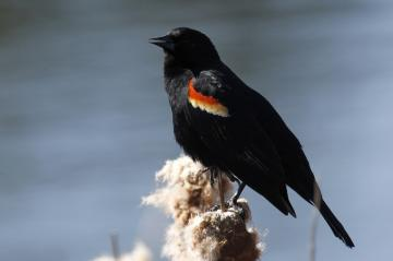 A red-winged blackbird perches