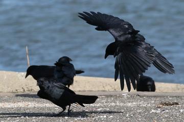 Three fish crows.