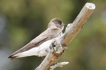 Northern rough-winged swallow on a branch.