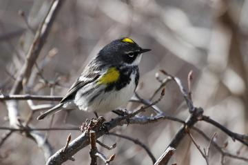 Yellow-rumped warbler on a branch.