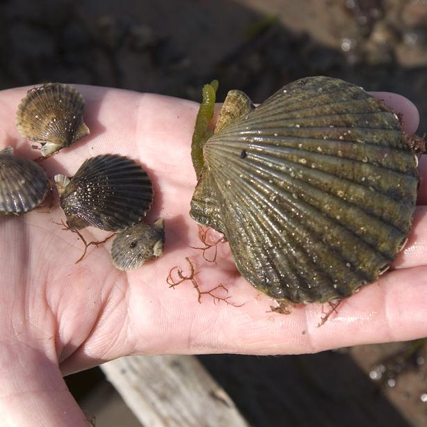 bay scallop seeds