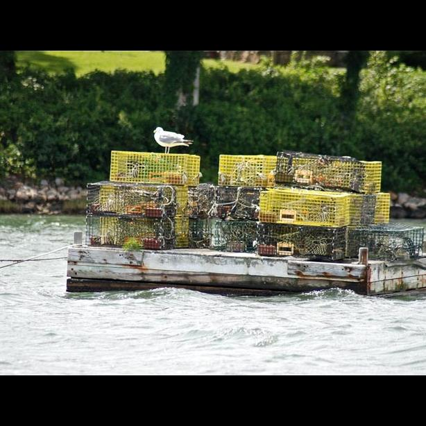 Lobster traps raft seagull
