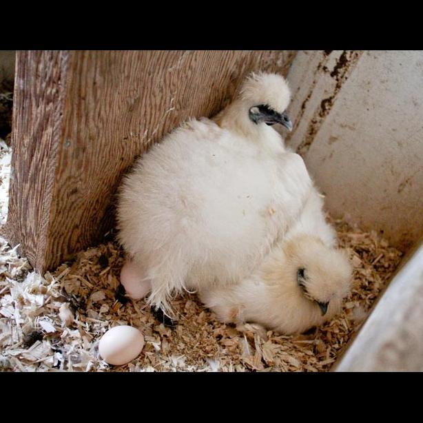 Silky chickens