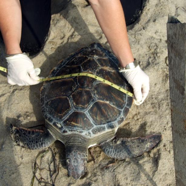 Green turtle tape measure