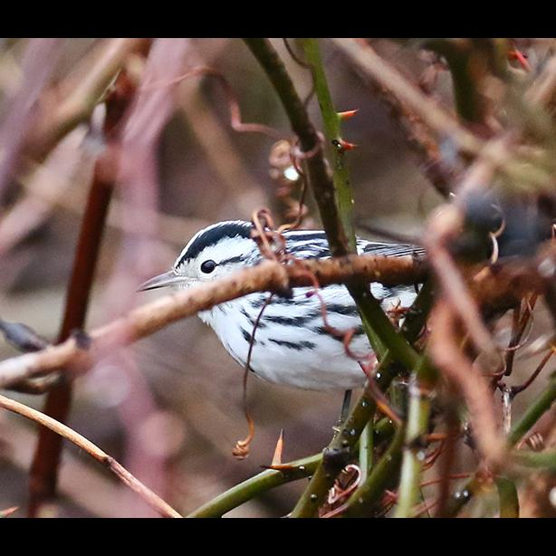 Black and white warbler photo by Lanny LcDowell