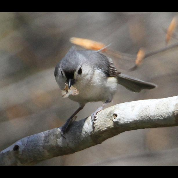 Tufted titmouse on a branch.