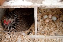 hens coop eggs