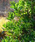 northern bayberry