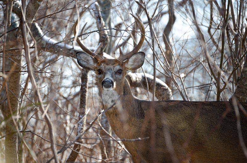 Deer, Aquinnah