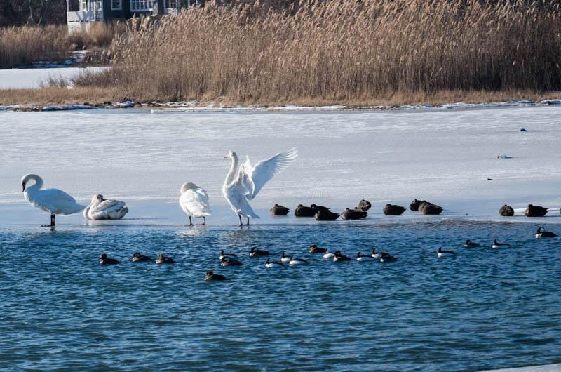 Confluence of birds on ice at Farm Pond, Oak Bluffs