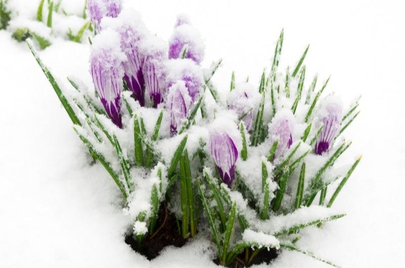 The vineyard gazette marthas vineyard news spring snow blankets spring flowers bloom in the snow timothy johnson mightylinksfo